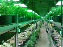Clone Cannabis Plants
